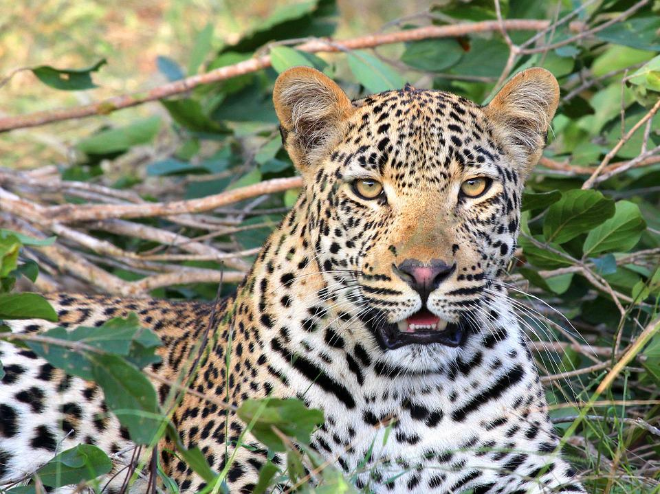 Leopard, Leopard Head, Wildlife, Big Cat, Predator