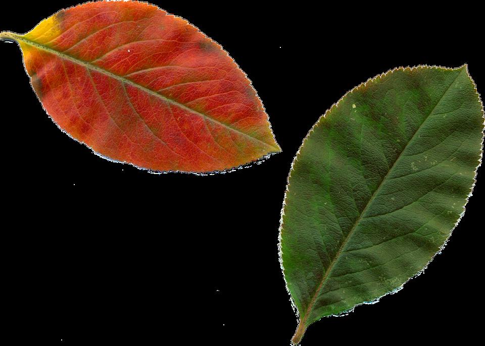 Free photo Clipart Leaves Autumn