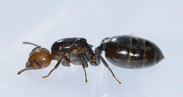 Hymenoptera Hormiga Cabeza Rossa Macro Hor