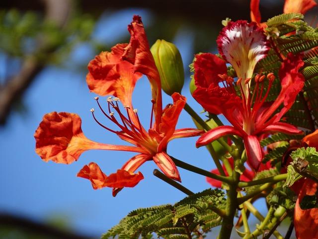 flowers flamboyant flower  u00b7 free photo on pixabay