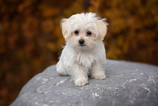 Miniature Maltese Puppies For Sale in North Dakota