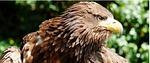 striking, european sea eagle