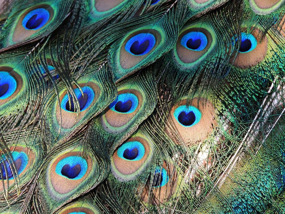free photo  peacock feathers  bird  colorful - free image on pixabay