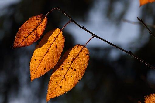 Herbstlaub, Blatt, Gegenlicht