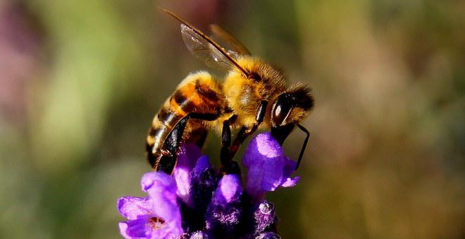 Bee, Lavender, Insect, Nature, Yellow
