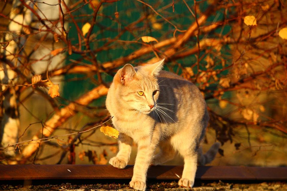 cat lynx autumn foliage - photo #19