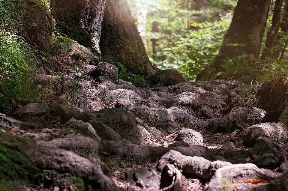 Bane, Røtter, Skogen, Natur, Nærbilde, Stien, Bakken
