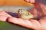 bird, young bird, goldcrest
