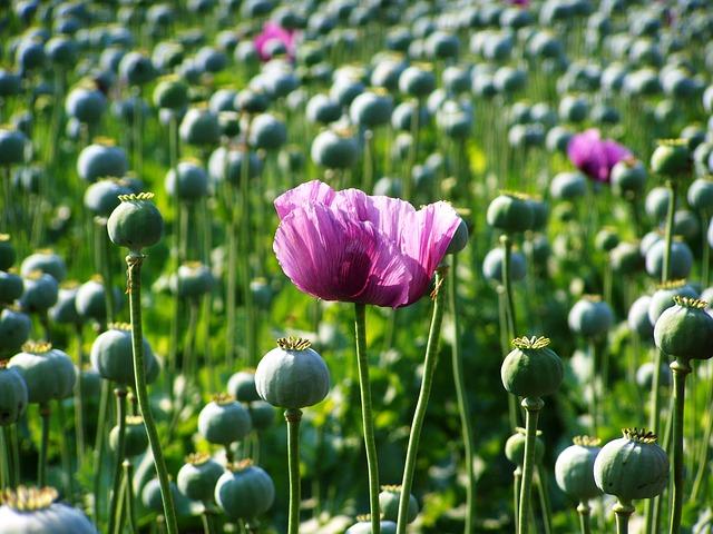 Free Photo Poppy Flower Purple Flower Free Image On