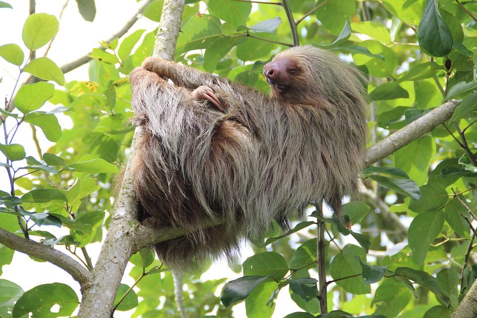 Paresse, Costa Rica, Forêt Tropicale