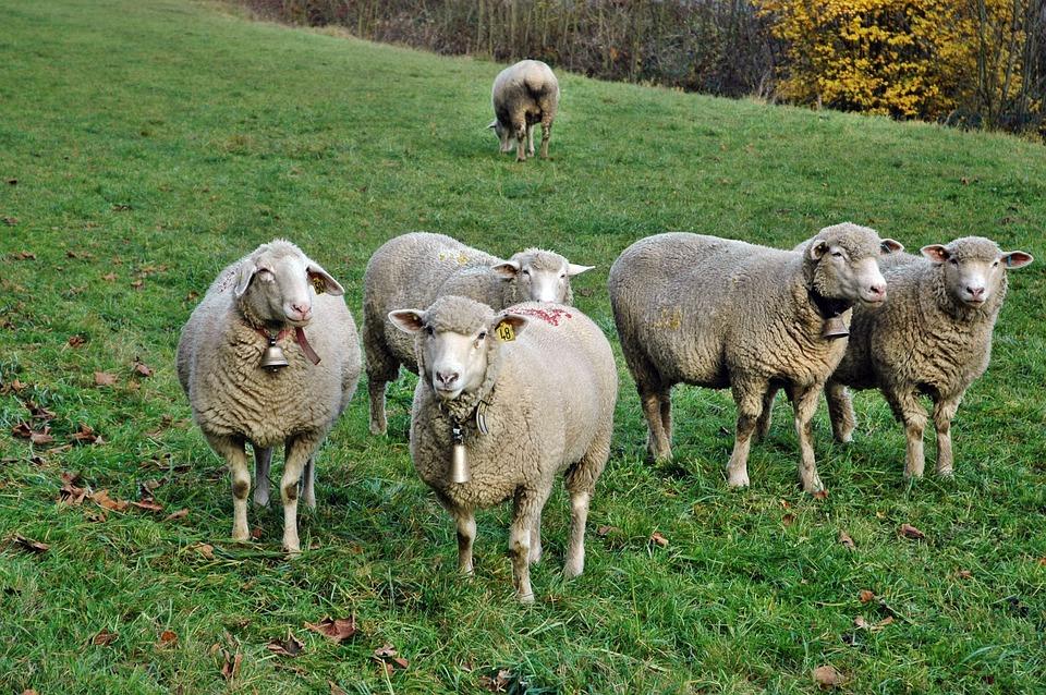 Photo gratuite moutons troupeau de moutons image - Photos de moutons gratuites ...