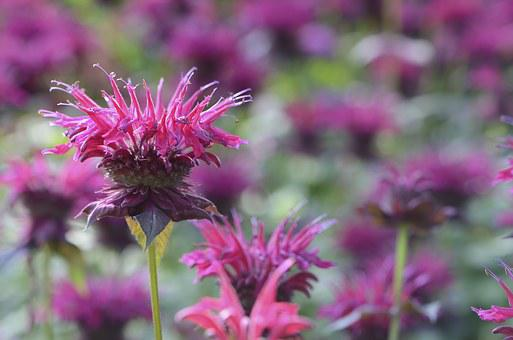Bee Balm, Red, August, Flower