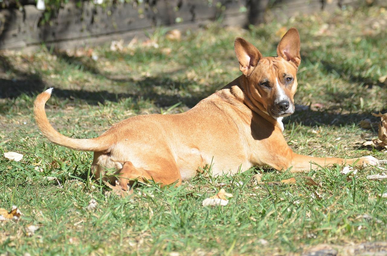 Pit Bull Terrier Mix Animal - Free photo on Pixabay