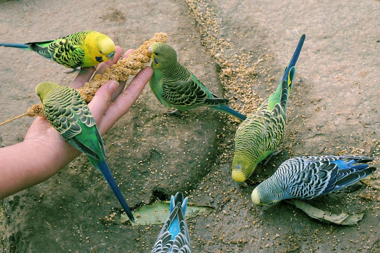 Что кушают попугаи в домашнем условии