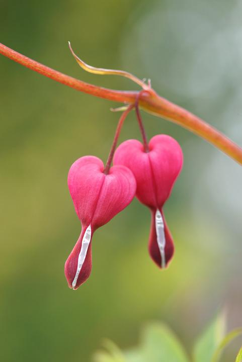 Free Photo Bleeding Heart Flower Nature Free Image On