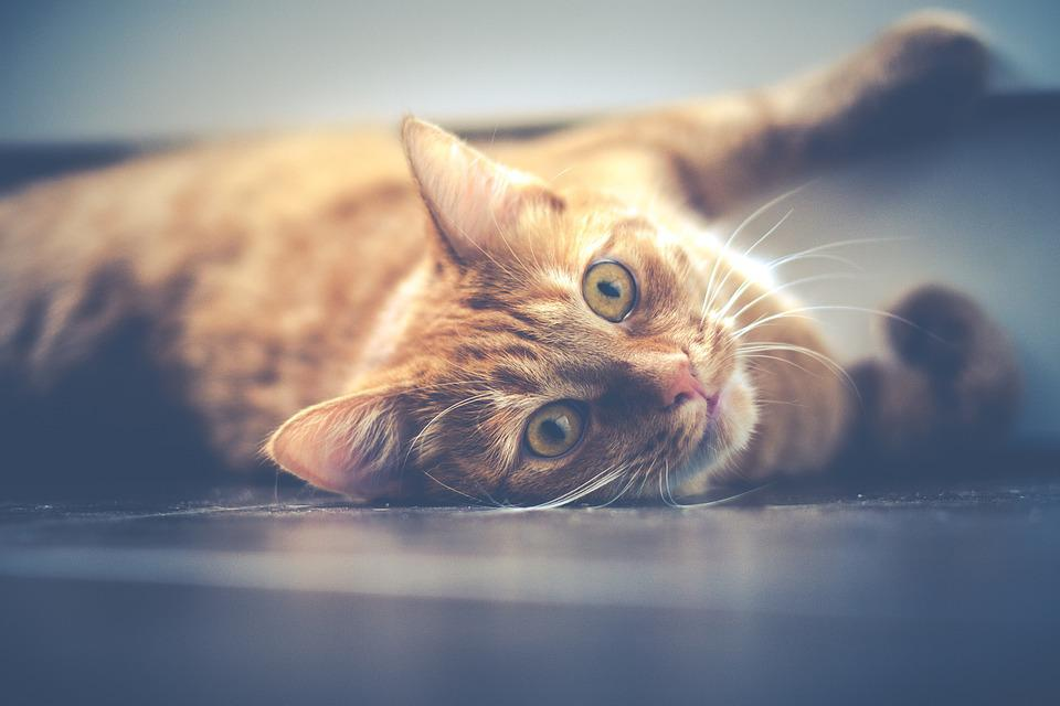 Cat, Pet, Cat Eyes, Lying, Red, Animal, Portrait, Kitty