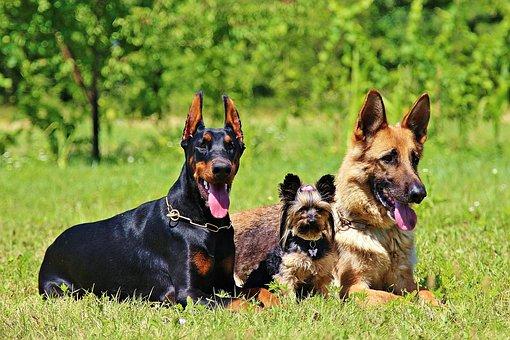 German Shepherd, Grass, Dogs
