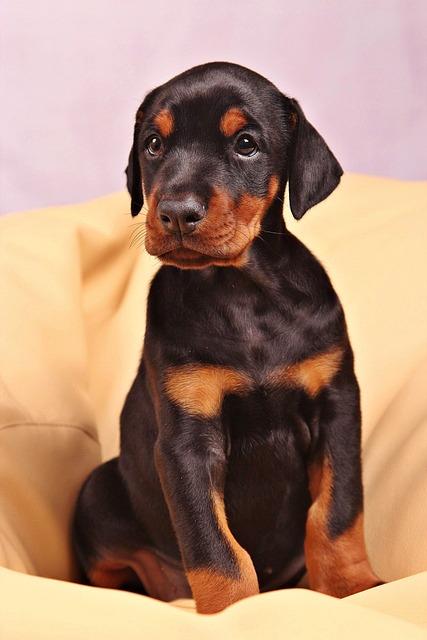 Dog Doberman Pets · Free Photo On Pixabay