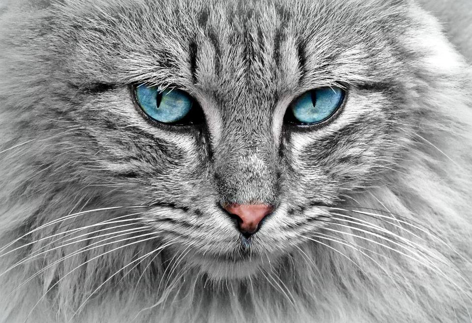 Кошка, Животных, Кошка Портрет, Скумбрия, Кошачий Глаз