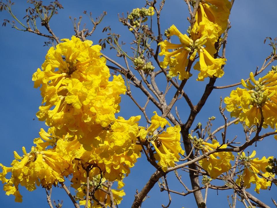 fleur jaune ip fleurs photo gratuite sur pixabay. Black Bedroom Furniture Sets. Home Design Ideas