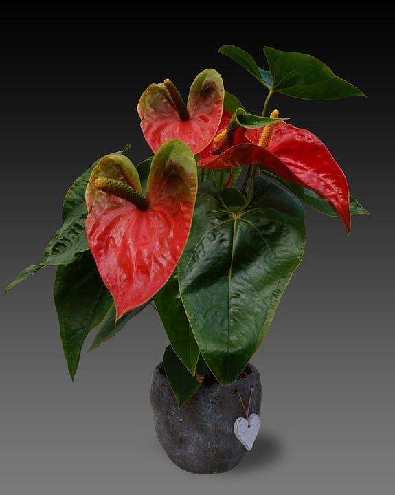 Etwas Neues genug Anthurie Blume Große Flamingoblume - Kostenloses Foto auf Pixabay &FW_81