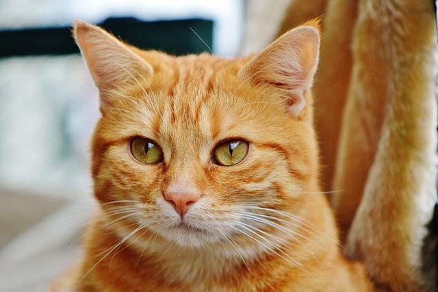 Free photo: Cat, Red, Cute, Mackerel, Tiger - Free Image ...