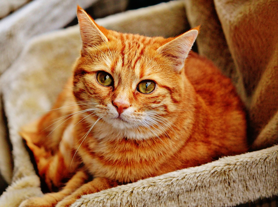 Cat, Red, Mackerel, Tiger, Cuddly, Animal, Domestic Cat