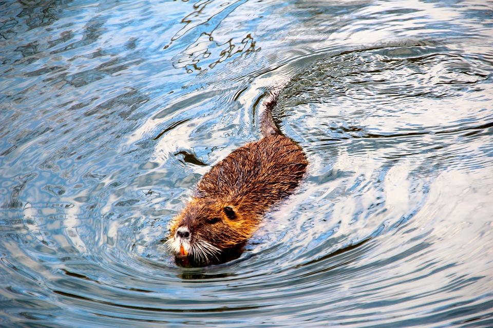 Castor rat musqu l 39 eau photo gratuite sur pixabay for 94 castor eau