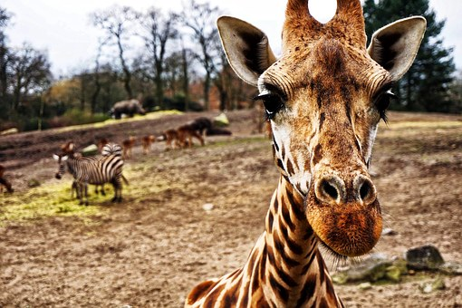 Giraffa, Zebra, Ippopotamo, Testa