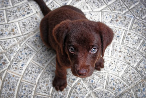 Puppy, Dog, Cute, Pet, Animal, Canine, teach a puppy to sit