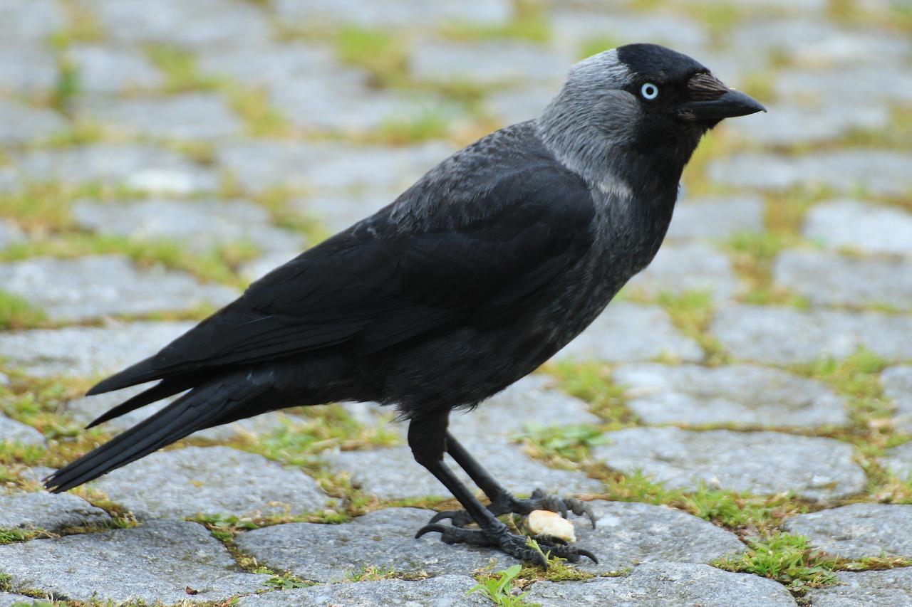 картинка птица галка минус гулять там