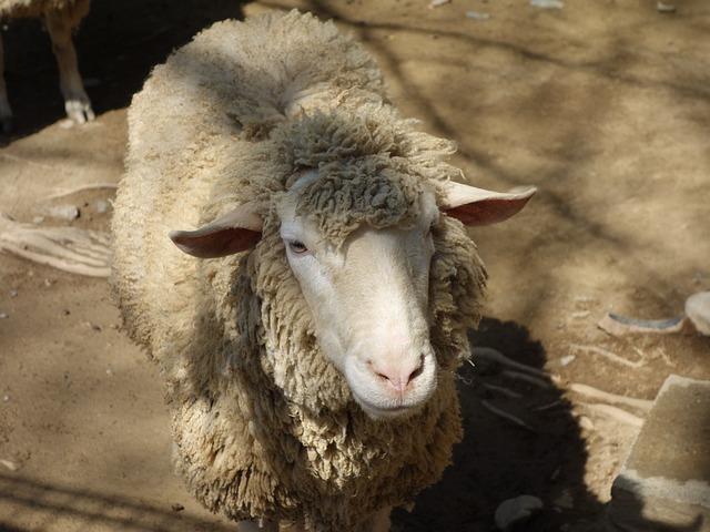 Mouton zoo photo gratuite sur pixabay - Photos de moutons gratuites ...