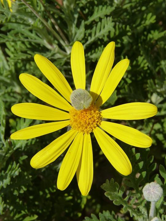 Fiori Gialli Tipo Margherite.Margherita Fiore Giallo Bozzolo Foto Gratis Su Pixabay