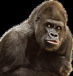 isolated, white, gorilla