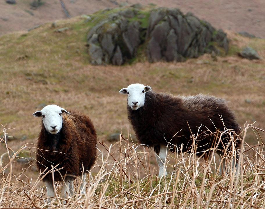 Free Photo Cumbrian Sheep Herdwick Sheep Free Image On