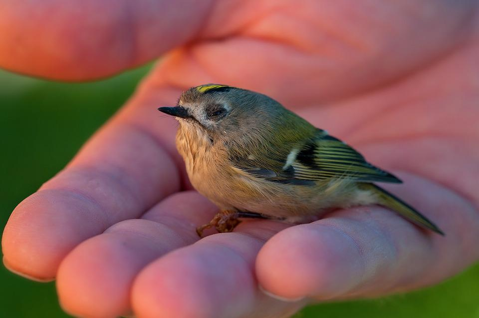 Goldcrest Bird Animal Small Bird Young Bird Small