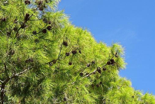 Pine, Tree, Pinus, Cones, Las Vegas