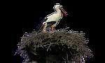 isolated, white, stork