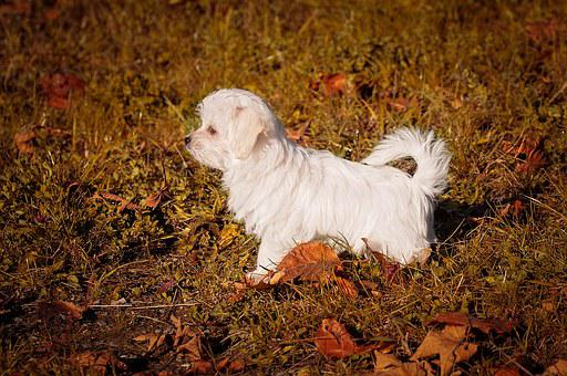 Dog, Puppy, Young Dog, Small, Maltese