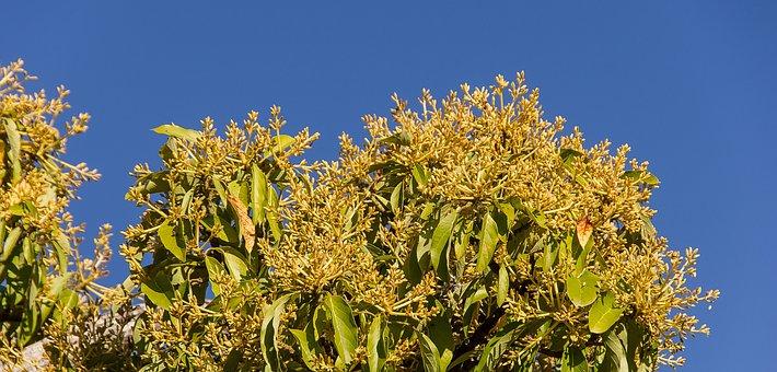 Mango Blossom, Flowers, Yellow, Blossom