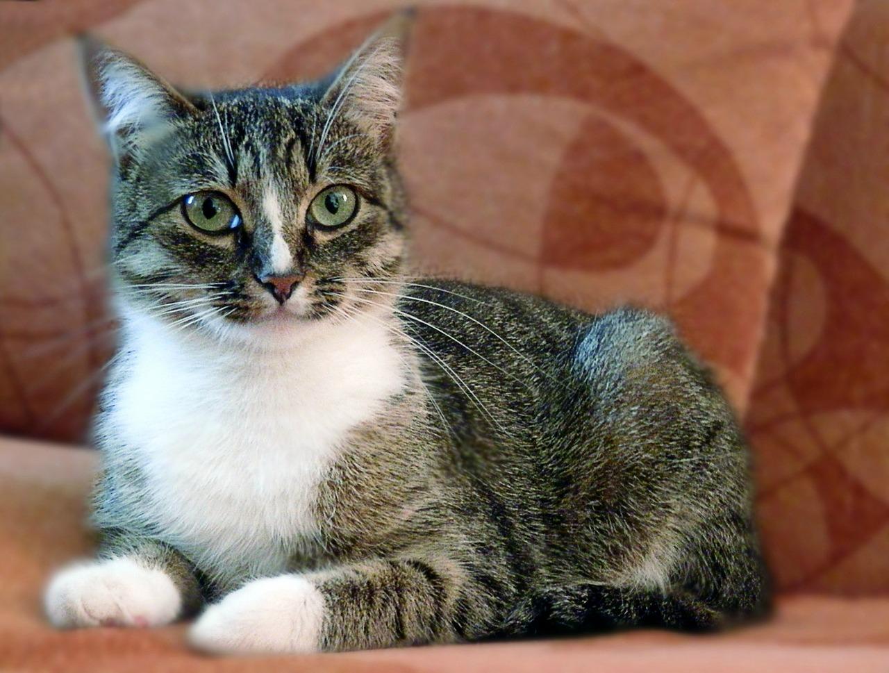 Картинка домашнего животного кошка