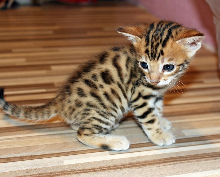 Free photo kitten bengal kitten pet free image on - Chat du bengal gratuit ...