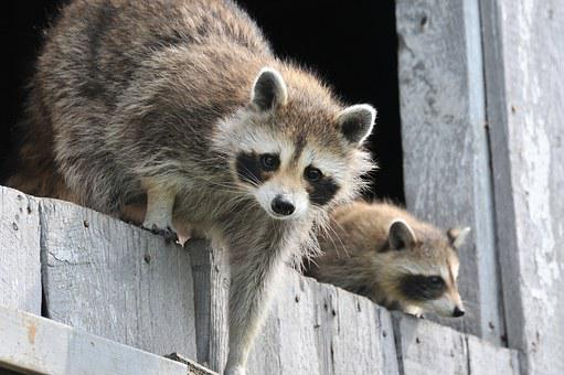Baby Raccoon Wildlife Wild Funny Adorable