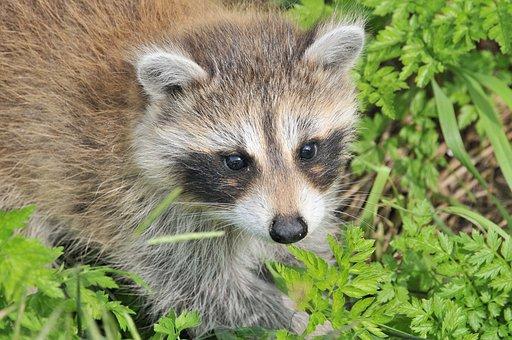 Raccoon Baby Raccoon Animal Baby Nature Cu