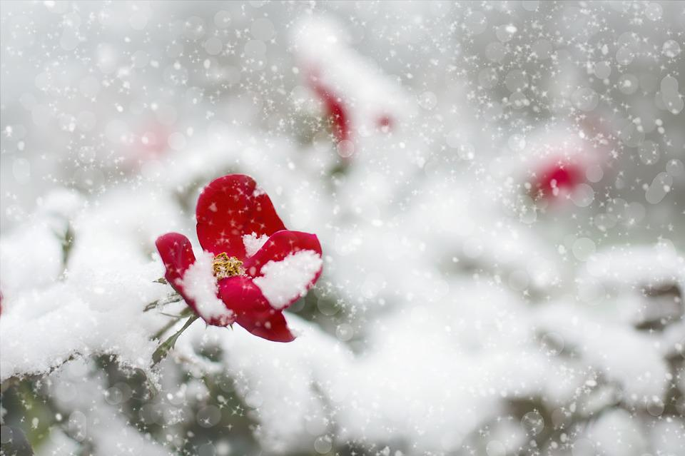 Red Rose, Snow, Winter, Red, Rose, White, Nature