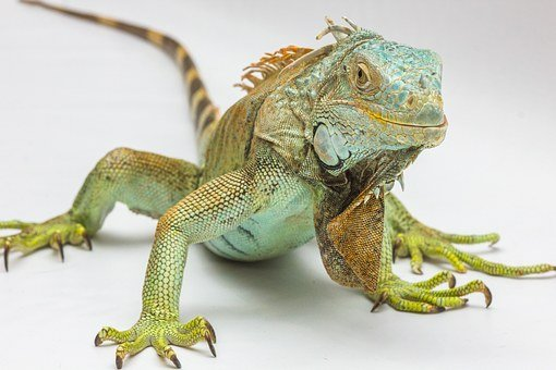 Iguana White Background Reptile Iguana Igu