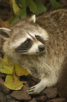 Raccoon, Animals, Zoo
