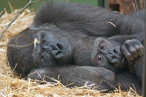 Tiere, Primaten, Menschenaffen, Gorilla