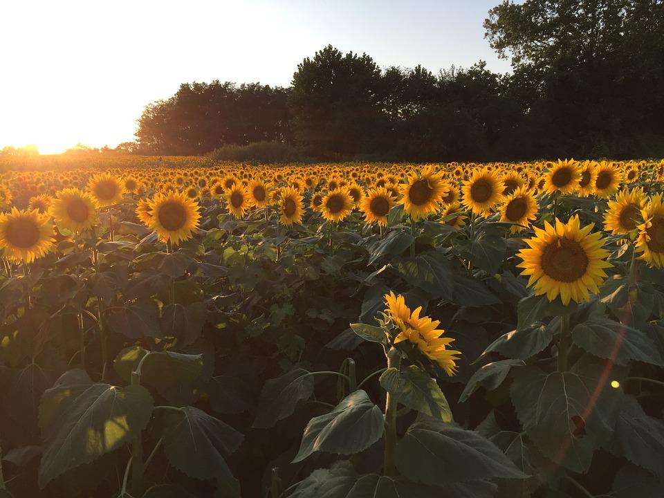 Free Photo Sunflowers Sunset Field