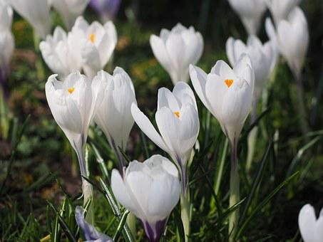 Flowering white crocus images pixabay download free pictures crocus flower spring bhen white mightylinksfo